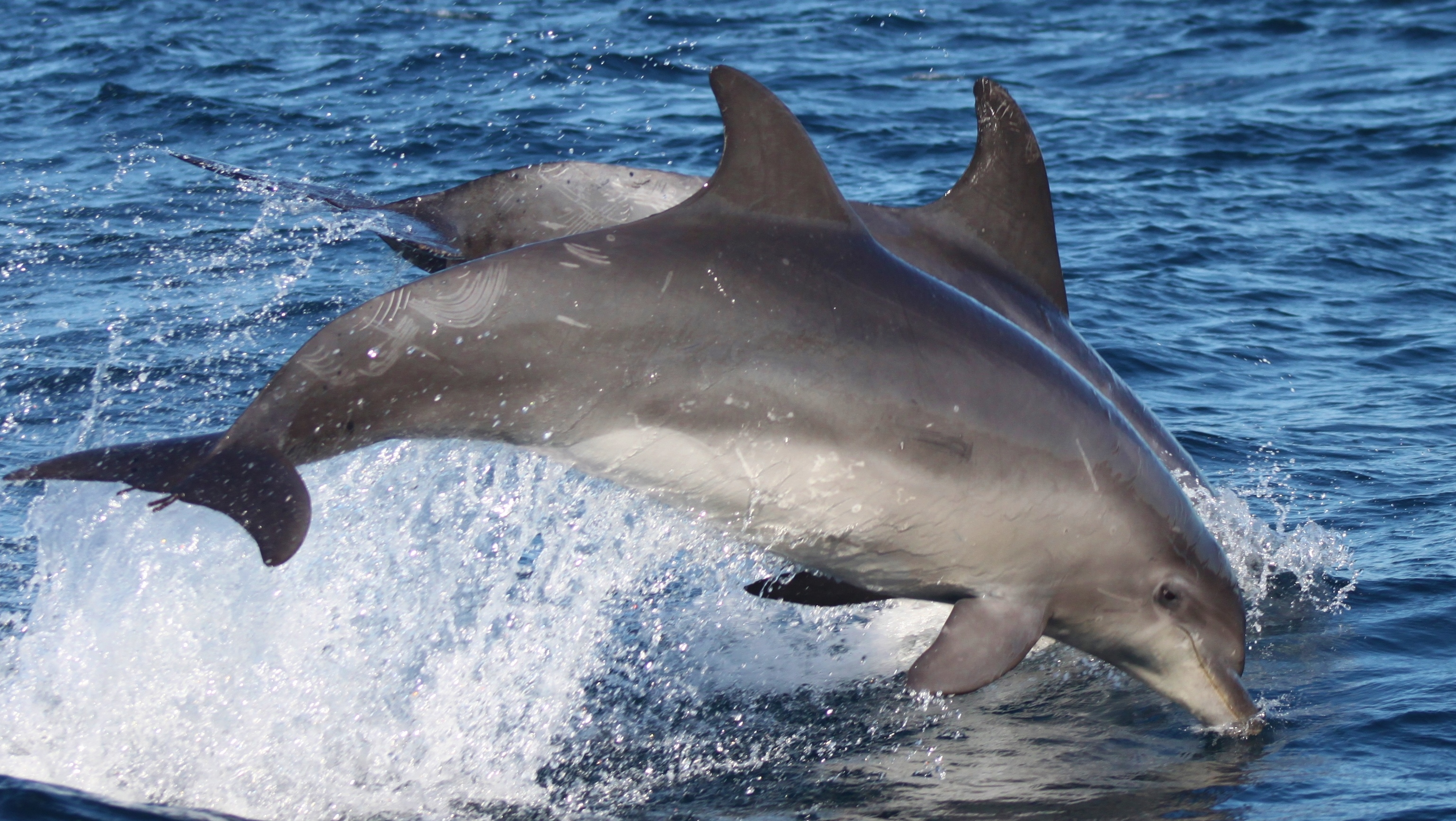 45f277319b72 The bottlenose dolphin (Trusipos truncatus) is the second most common  species